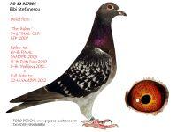 Breeding pigeon RO-12-927806