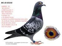 Breeding pigeon BG-16-65216