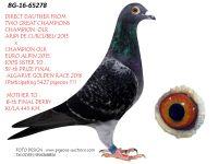 Breeding pigeon BG-16-65278